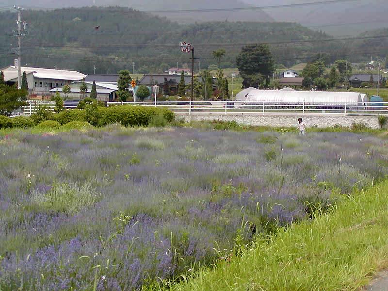 春日平ラベンダー園