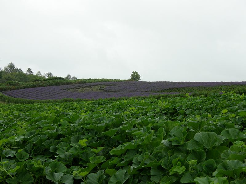 ラベンダー畑1