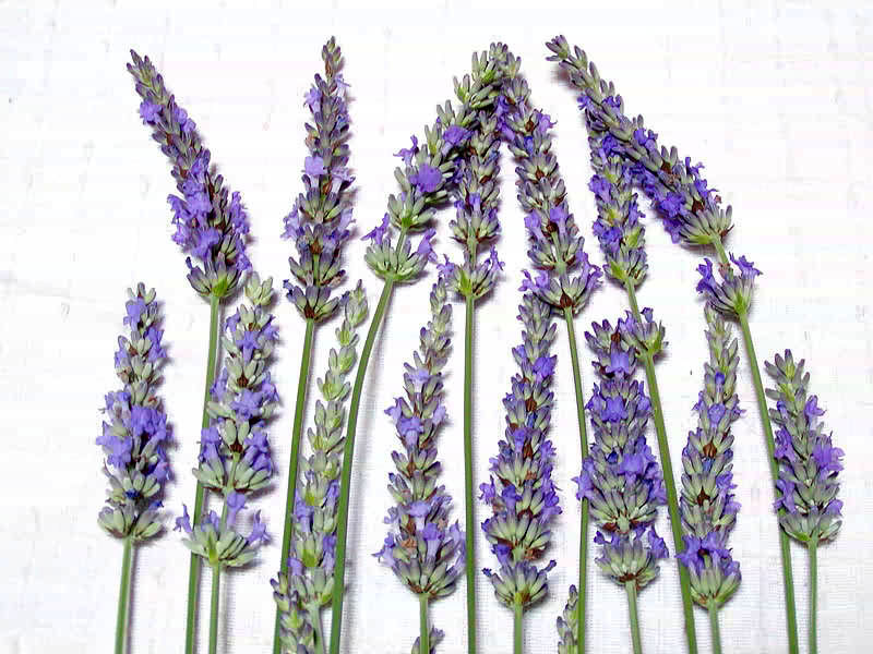 ラバンディン系の花穂比較